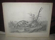 ANTIQUE ENGRAVING JAPANESE FOX  U. S. JAPAN EXPEDITION NATURAL HISTORY  4/16