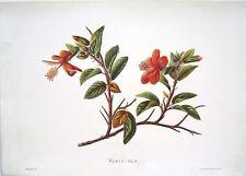 "Antique Hawaii Botanical Print: Hawaii Native Flower ""KOKIO-ULA"": London, 1885"