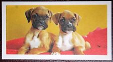 BOXER  Puppies    Vintage 1960's Colour Photo Card