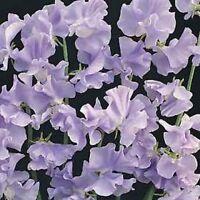 Sweet Pea- Royal Lavender- (Lathyrus Odoratus)- 15 Seeds -