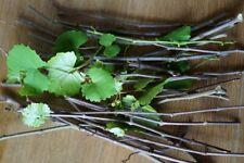 20 Wild Muscadine Grape Cuttings - Proven Grape Producers