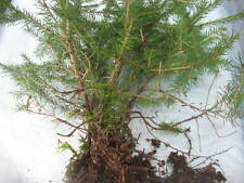 5 X Forest Bonsai Trees European spruce Picea abies bare roots