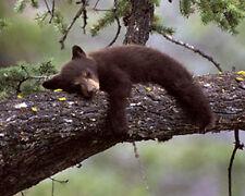 Black Bears Cub 8x10 Wildlife James Jones Photography Print Picture