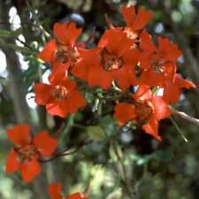 FLOWER - TROPAEOLUM SPECIOSUM  -  5 SEED UNIQUE CLIMBER