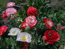 Poppy Shirley Double Mix (2000 seeds)- Organic Heirloom from Life-Force Seeds