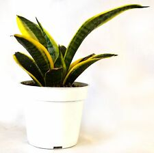 "Superba Robusta Snake Plant - Sanseveria - Impossible to kill! - 4"" Pot Gift"