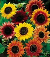 Sunflower- Autumn Beauty Mix- 100 Seeds- BOGO 50% off SALE