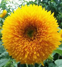 50 Graines de Tournesol Pompon Nain Jaune / Fleur