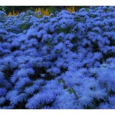 AGERATUM Market Growers Blue 100 Seeds. Flowers