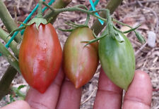 Brown Roma Tomato - One of the Most Rare Roma Tomato Variety - 10 Seeds!!!