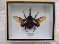 THAI FIGHTING BEETLE (XYLOTRUPES GIDEON) SIAMESE RHINOCEROS INSECT WINGS BOX