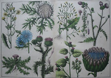 Thistles...Antique lithograph..SCHUBERT..1872