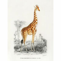 Dorbigny 1849 Giraffe Natural History Illustration  Art Canvas Print 18X24 In
