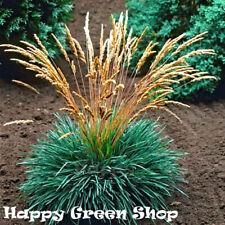 Blue Hair Grass - 300 seeds - Koeleria glauca - Perennial grass