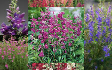 Penstemon Pinocolada Mix Seed Compact Perennial Showy Long Flowering Blooms