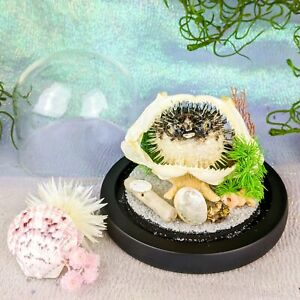 W24a Taxidermy Oddities Curiosities Spikey Puffer Blowfish Porcupine fish dome