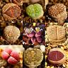 100 Lithops Seeds Rare Mixed Living Stones Succulent Cactus S016