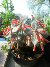 Sinningia canescens Seeds 30+ Queen of the Abyss Rechsteineria leucotricha Rare