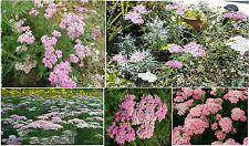 Pink Achilleas Yarrow * Apple Blossom * Over 100 Seeds