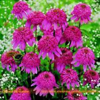 100% Real Bush's Purple Coneflower Flower 20 Seeds/Pack Echinacea Purpurea Seed