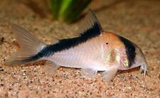 Corydoras davidsandsi (Rare Catfish)