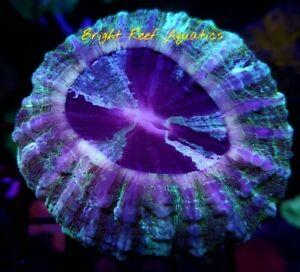 Bright Reef Aquatics - WYSIWYG ACANTHOPHYLLIA MEAT CORAL DONUT LIVE CORAL LPS