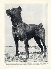 BOUVIER DES FLANDRES STANDING DOG ORIGINAL DOG PRINT PAGE FROM 1934