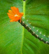 10 LEPISMIUM miyagawae SEEDS ORCHID CACTUS SEMI no ariocarpus stapelia huernia