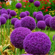 100Pcs Purple Giant Allium Giganteum Beautiful Flower Seeds Garden Plant