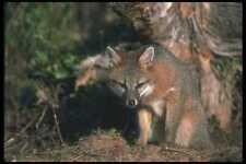 109032 Gray Fox Otoño A4 Foto Impresión