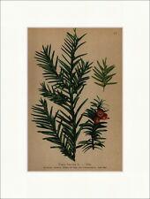 Eibe Taxus baccata L. Wälder der Bergregion und Voralpenregion Alpenflora 017