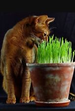 250g UK grown sweet Oat Grass seeds for Cats and other Pets