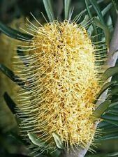 Banksia Marginata A.k.a. Silver Banksia Seeds X10