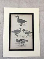 1880 Antico Uccello Stampa Anatra Papere Oca Wildfowl Naturale Storia