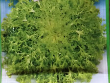 chicorée frisée env. 100 à 150 graines, bio