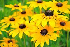 Black Eyed Susan Seeds, Rudbeckia Hirta, Classic Wildflower, Free Shipping