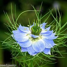 Love-in-a-Mist Heirloom Seeds - Non-GMO - Untreated - Open Pollinated!