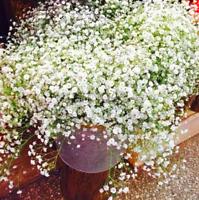 Gypsophila Paniculata Plants Perennial Garden Flowers Bonsai Plant 100 PCS Seeds