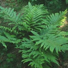 Marginal Wood Fern ...... 200 Spores