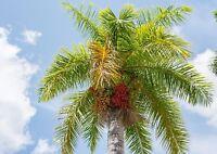 ** Königspalme wird garantiert die Krönung in Ihrem heimischen Paradies Samen.