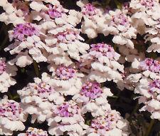 CANDYTUFT GIBRALTAR PERENNIAL Iberis Gibraltarica - 1,000  Bulk Seeds