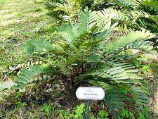 Zamia furfuráceo-Palma de cartón - 10 Semillas Frescas