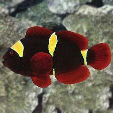 Gold Stripe Maroon Clownfish (Premnas Biaculeatus)
