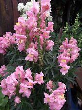 PINK FLOWER SNAPDRAGON -ANTIRRHINUM - 300 SEEDS