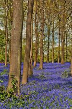 Bluebells Bluebell Woods Greys Court Oxfordshire England UK Photograph Picture