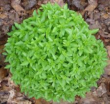 BASILICO GLOBOSO 200 SEMI spicy globe basil spezia pianta globo erba aromatica