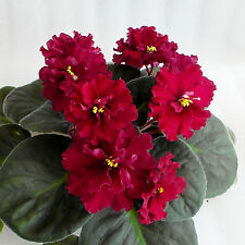 ☘️ RS OTELLO - RUSSIAN VARIETY AFRICAN VIOLET LEAF ☘️