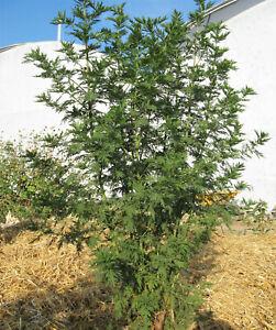 1000 SWEET WORMWOOD Artemisia Annua Sweet Annie Mugwort Sagewort Herb Seeds