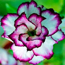 Rare Desert Rose Seeds White and Purple Desert Rose Seeds Bonsai Flower Seeds