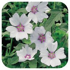 3 Lavatera Hybrida 'Silver Barnsley' Plug Plants 'Tree mallow Hardy shrub'